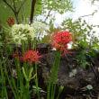 長雨の季節前にヒガンバナ咲く
