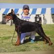 血統優秀なヨーロピアン系ドーベルマン子犬