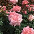 今日の薔薇2