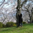 満開、お花見散歩♪ <富士霊園にて>