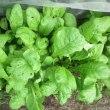 野菜畑のこと16