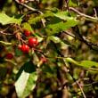 樹木ウォッチング冬から夏へ343エゾノコリンゴ3