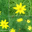 イトバハルシャギクの花は