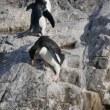 岩を滑り降りるイワトビペンギン