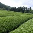 広がる茶畑