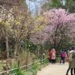 桜開花まで、あと4~5日?