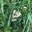山小屋の散歩道はシロヨメナが咲いています。