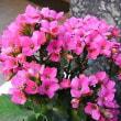 季節の花「カランコエ」