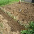 ネギの植栽・・・