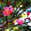「県立相模原公園」 梅の花がチラホラと!!