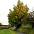 秋雨の銀杏に黄葉が少し見えました