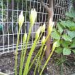 まだまだ咲きます我が家の彼岸花