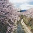 桜花爛漫の時期です!