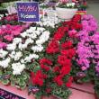 『季節の花』 シクラメン