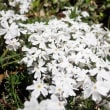 タチイヌノフグリ - 我が家の小さなお花たち(千葉県白井市)