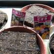 種から植えました。