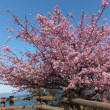 3月19日(月曜日)「河津桜」(ka-koさん)