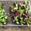4/15(日)レタス類 追加植えです!そして赤そら豆のアブラーチェック!