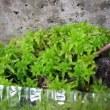 ネペンテス栽培記 460 ネペンテスの用土は何が一番いいのか 補足