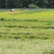 稲刈り風景