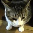 『おかぁ~ん。はよブシブシくれやぁ😸』ねだる猫こむぎが可愛い【猫日記こむぎ&だいず】2017.09.19