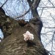 桜開花です!