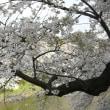千鳥ケ淵の桜