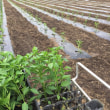 野菜苗定植シーズン