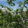 北海道開拓の村にリンゴの花咲く