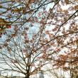 カワヅザクラと隅田川