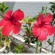 夏の海辺をイメージする花(^^♪夏を鮮やかに彩る豪華な花「サンパラソル」
