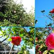 早咲き椿花の咲く島「大島」へ!!