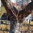 手賀沼の梅