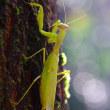 黄葉するクヌギに産卵するクヌギカメムシ