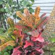 クロトン Croton