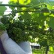 ひたすらブドウ園で