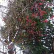 雪の中の 赤い姫林檎。