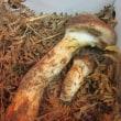 今年最後の岡山産松茸