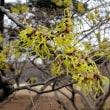 冬の花② マンサク