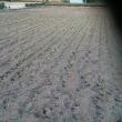 麦畑の様子