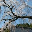 枝垂れ桜開花状況(平成29年4月14日)