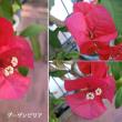ブーゲンビリアの花は