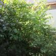 我が家の植物 グミの実