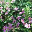 わが家の お花様達 659