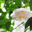 雨の中椿がまだ咲いていました②・・・鹿児島の風景