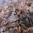 京都御苑近衛と出水の糸桜
