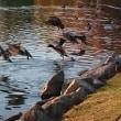 公園の鴨たち