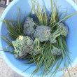今日の収穫 キャベツ ダイコン ニンジン カブ ネギ ワケギ ブロッコリー