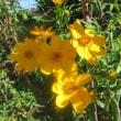 楽書き雑記「庭に咲く背丈が2㍍60㌢にもなったマリーゴールド」
