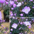 ボロニア・ピナータの花は